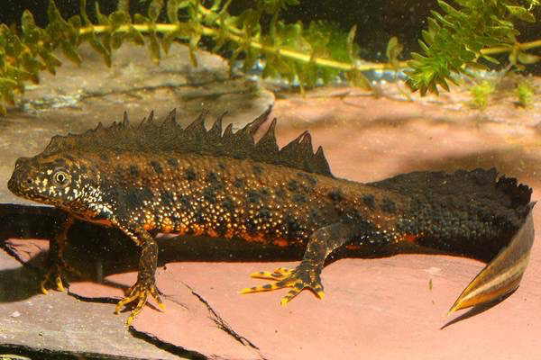 Fattore rigenerante salamandra e topo spinoso i più incredibili