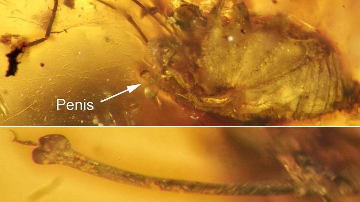 L'erezione di un ragno incastonata nell'ambra