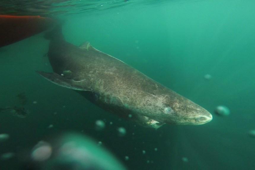 Megalodon squalo dente di carbonio datazione