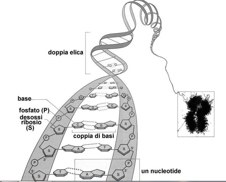 filamentocromosoma