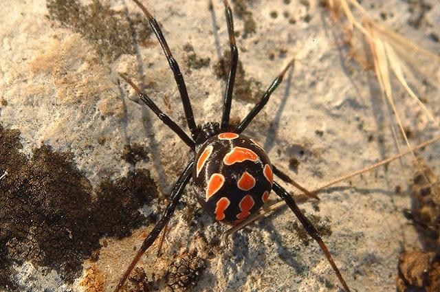 I ragni più pericolosi in italia ecco quali sono e dove si