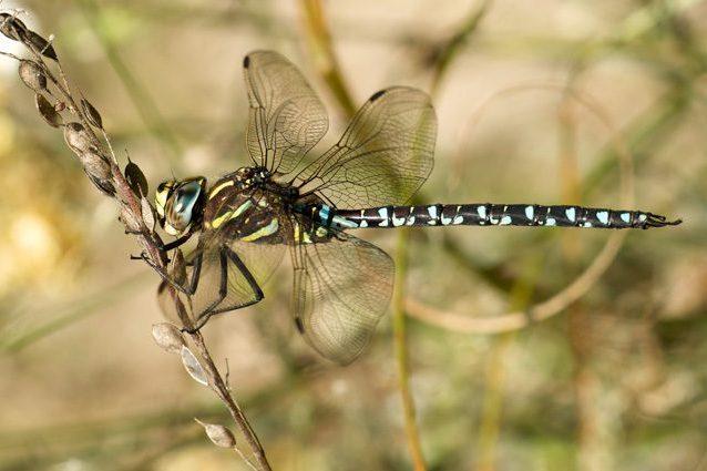 dragone-alpino-638x425.jpg