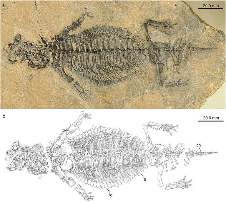 1200px-Eusaurosphargis_dalsassoi.jpg