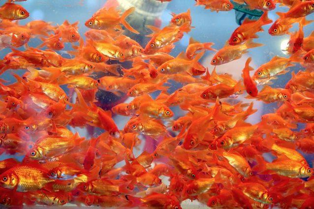 Scoperto come fanno i pesci rossi a sopravvivere senza for Quanto vivono i pesci rossi