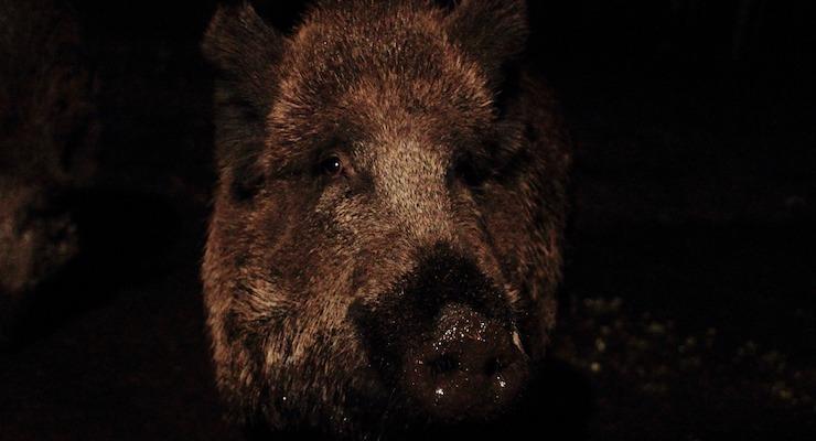 boar-2777229_1280-1