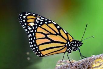 monarch-3184372_640.jpg