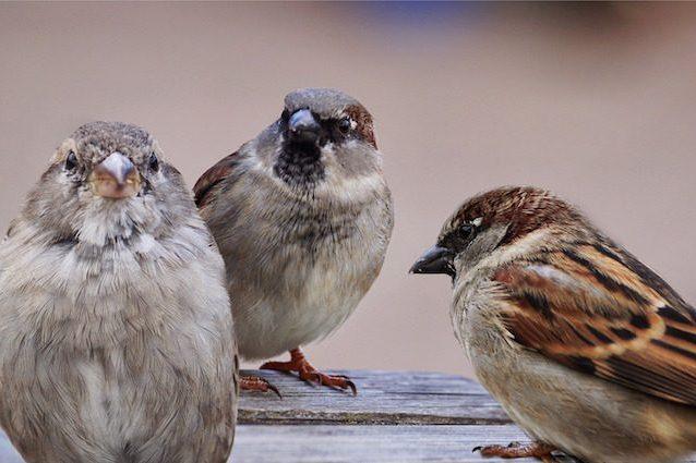 sparrows-2763083-1920-638x425.jpg